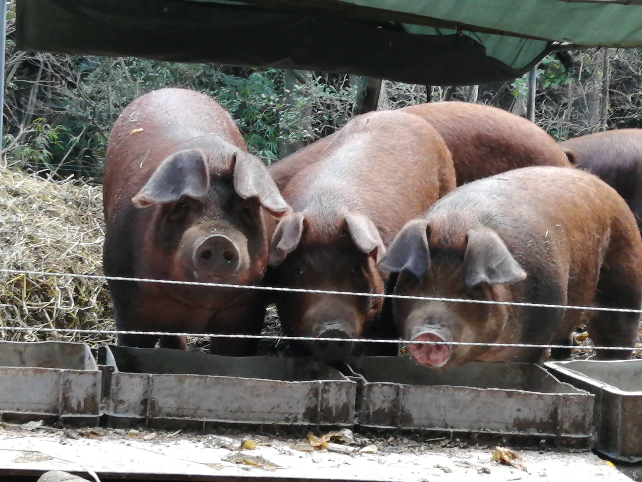 取材した豚さんたち